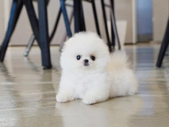 Snap! White Micro Pomeranian - Tiny Teacup Pups - photo#48