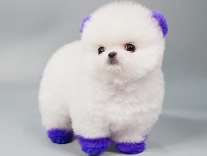 Almond White Micro Pomeranian - Tiny Teacup Pups