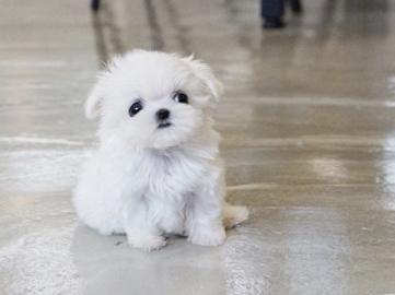 Micro Maltese Dog Goldenacresdogs
