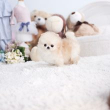 Puffy-Tiny-teacup-pomeranian-1-1-1-2-2-1