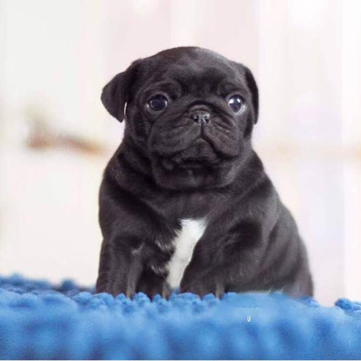 Mini Black Pug Puppies