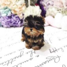 puff-Tiny-Teacup-Yorkie-1-1-1