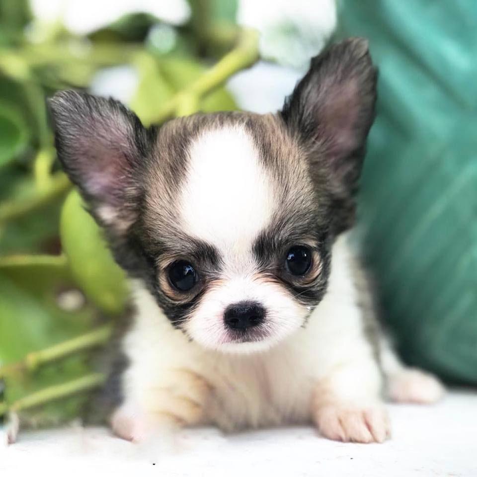 Joey Micro Teacup Chihuahua - Tiny Teacup Pups