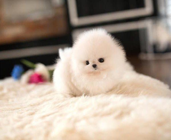 Teacup Pomeranian White Puppy