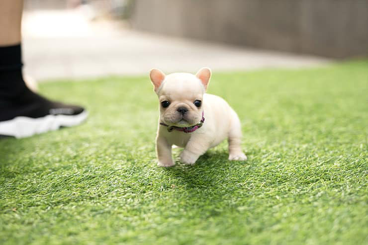 Armani Cream Mini French Bulldog Tiny Teacup Pups