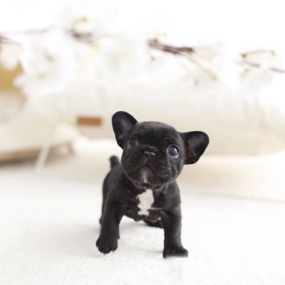 Bobby Black Teacup French Bulldog Tiny Teacup Pups