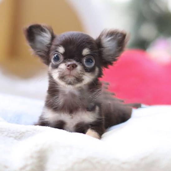 Blast Micro Teacup Chihuahua - Tiny Teacup Pups