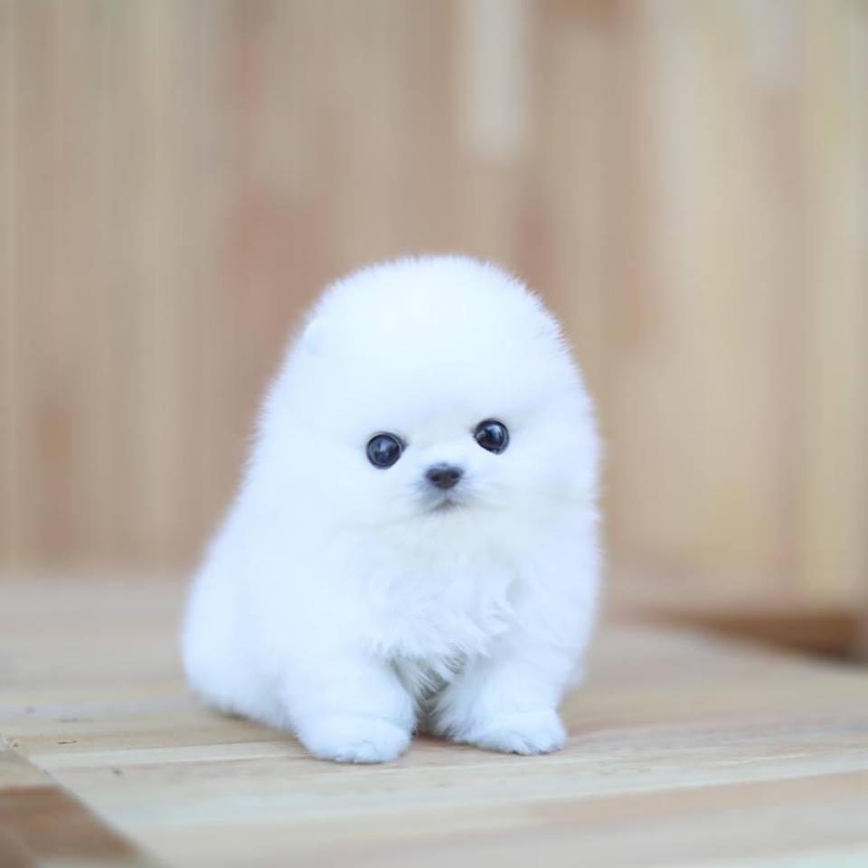 Micro Lightning White Pomeranian Microteacups