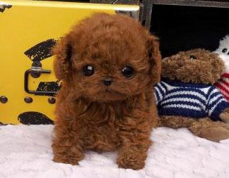 Micro Teacup Poodle