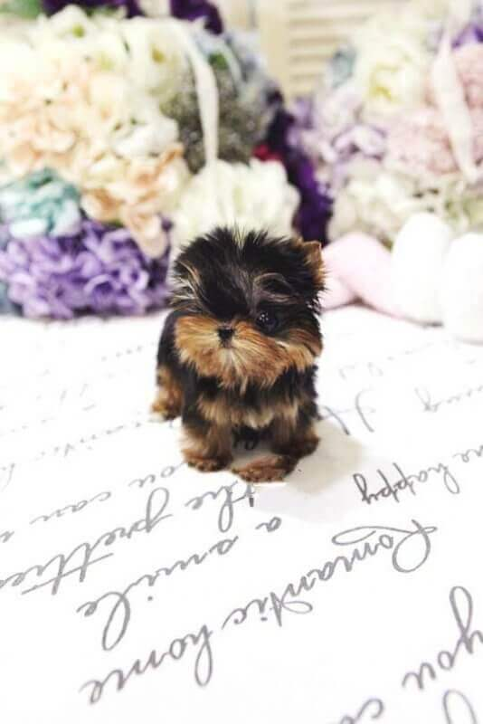 puff-Tiny-Teacup-Yorkie-1-1-1-1