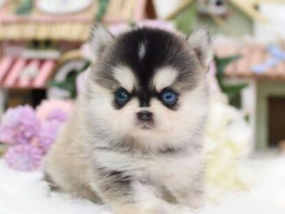 Classic Micro Teacup Pomeranian Puppy For Sale