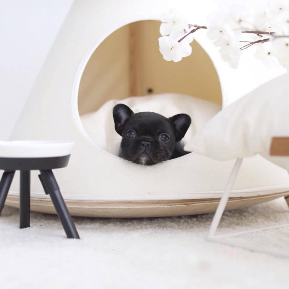 Bobby Black Teacup French Bulldog
