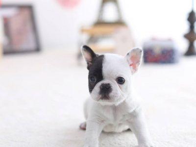 White & Black Pied Mini French Bulldog Puppy For Sale