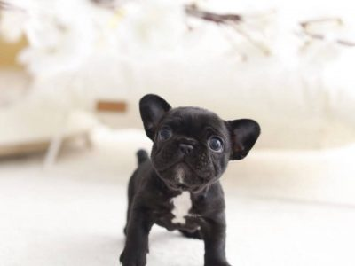 Black Mini French Bulldog Puppy