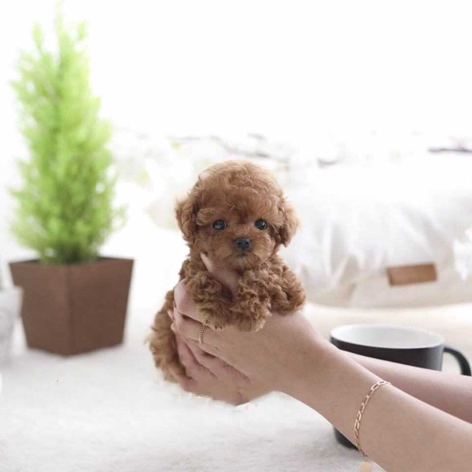 Piper Red Teacup Poodle Tiny Teacup Pups