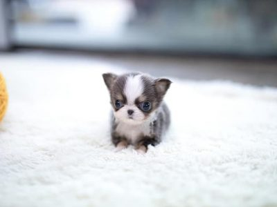 Blue Micro Teacup Chihuahua Puppy