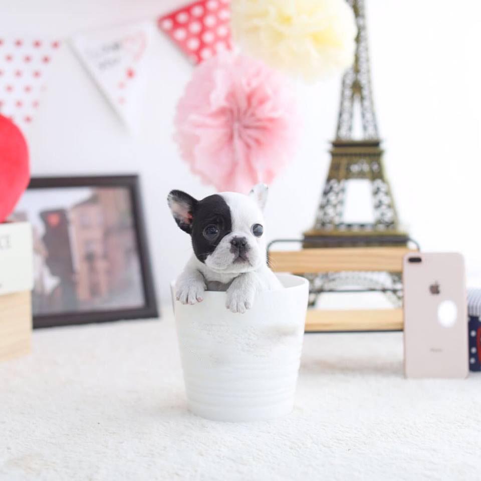 Meme Pied Teacup French Bulldog