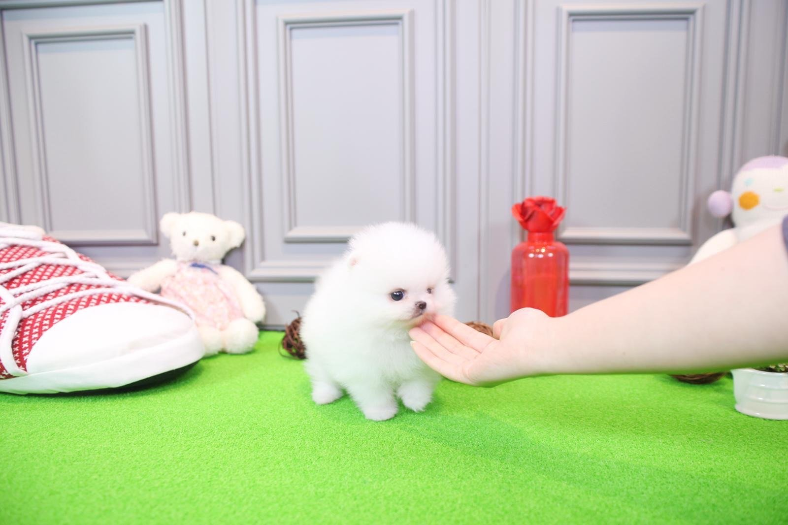 teacup pomeranian for sale in nj jersey tiny teacup pomeranian tiny teacup pups 6189