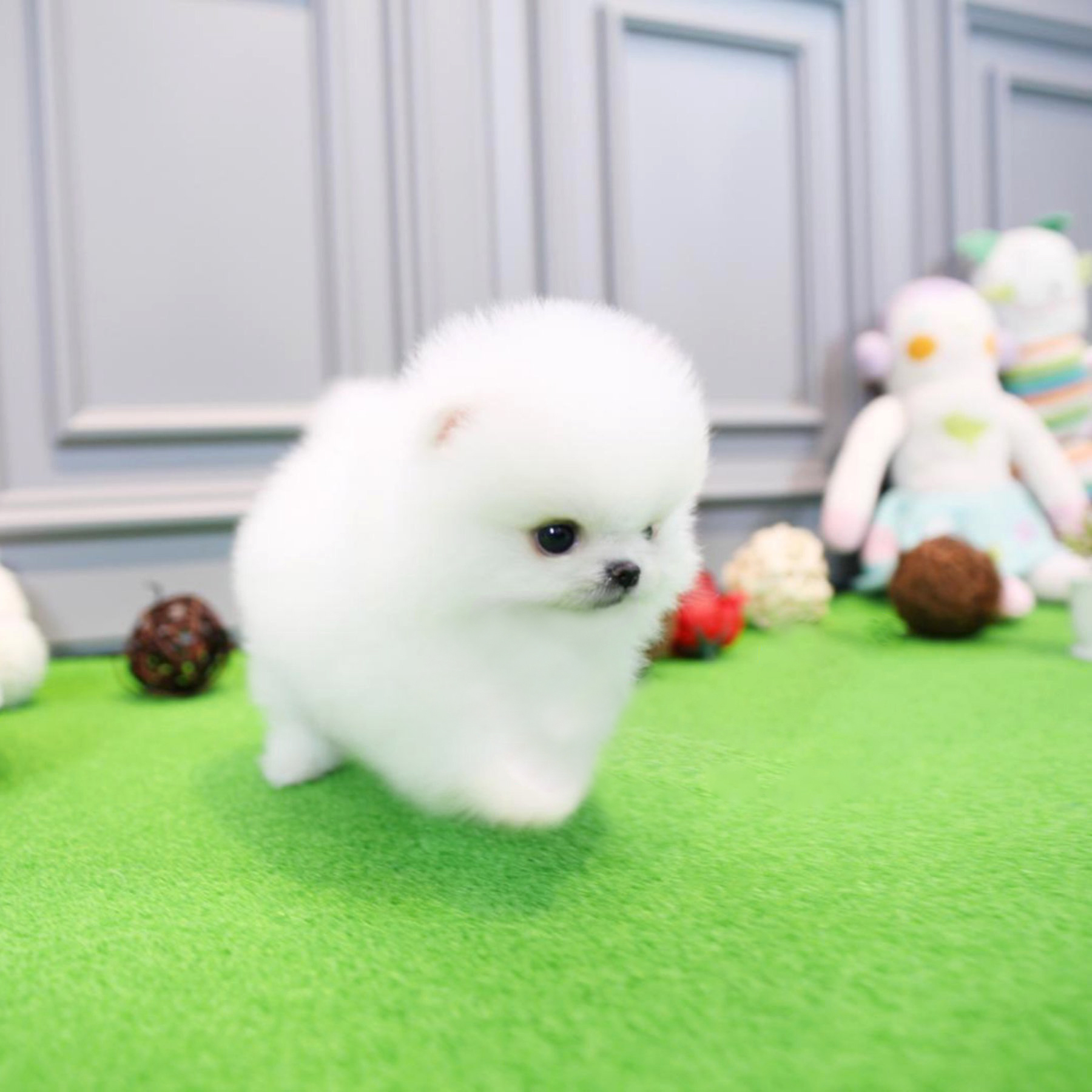teacup pomeranian for sale in nj jersey tiny teacup pomeranian tiny teacup pups 6244