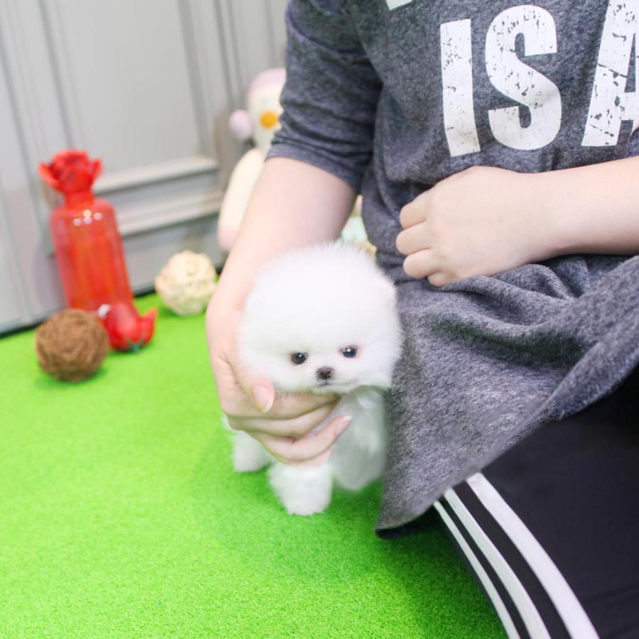 teacup pomeranian for sale in nj jersey tiny teacup pomeranian tiny teacup pups 6284