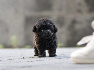 Black Micro Teacup Poodle Puppy