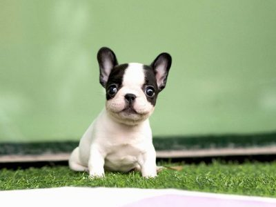 White And Brindle Pied Mini French Bulldog Puppy