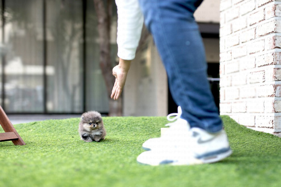 Mayan Tiny Teacup Pomeranian