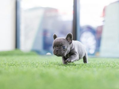 Blue Mini French Bulldog Puppy