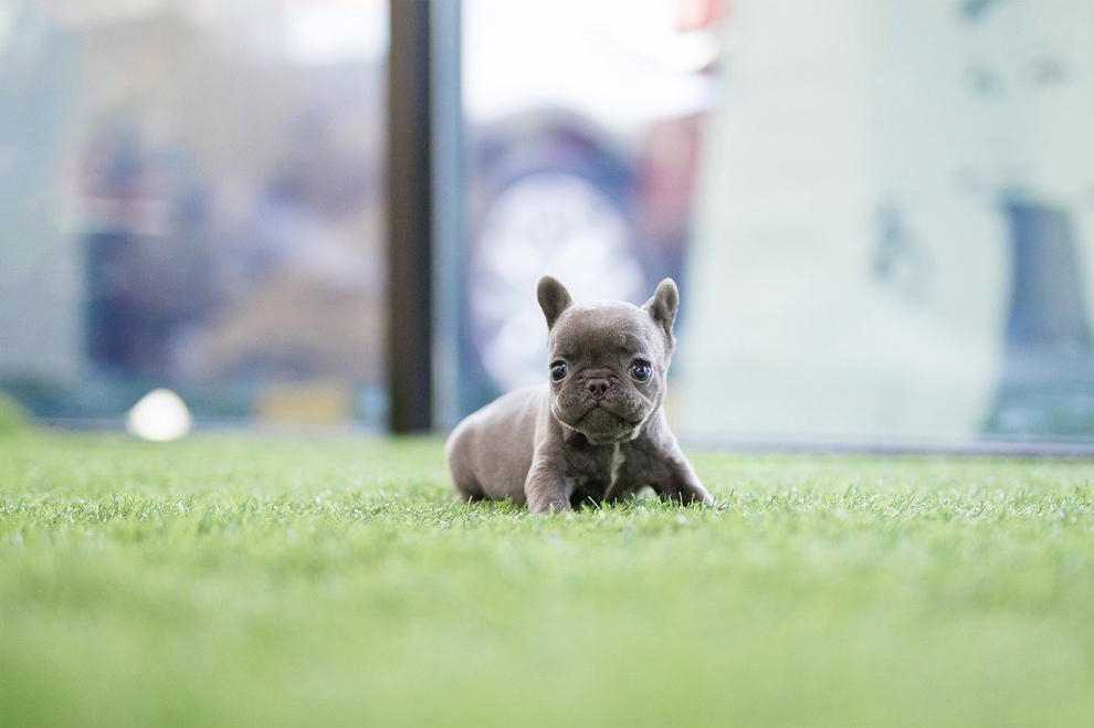 Reno Blue Mini French Bulldog