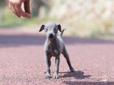 Classic Micro Teacup Greyhound Puppy