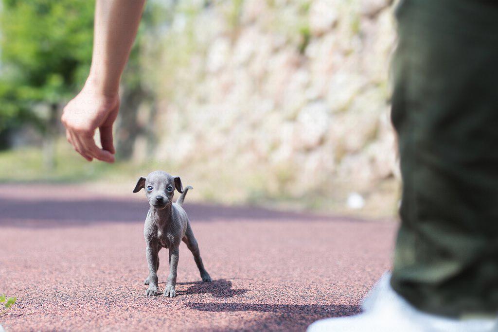Sash Micro Teacup Greyhound