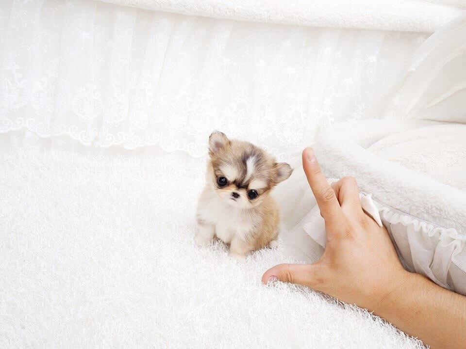 Tony Micro Chihuahua