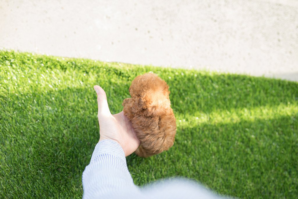 Canyon Red Tiny Teacup Poodle