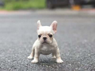 White Mini French Bulldog Puppy