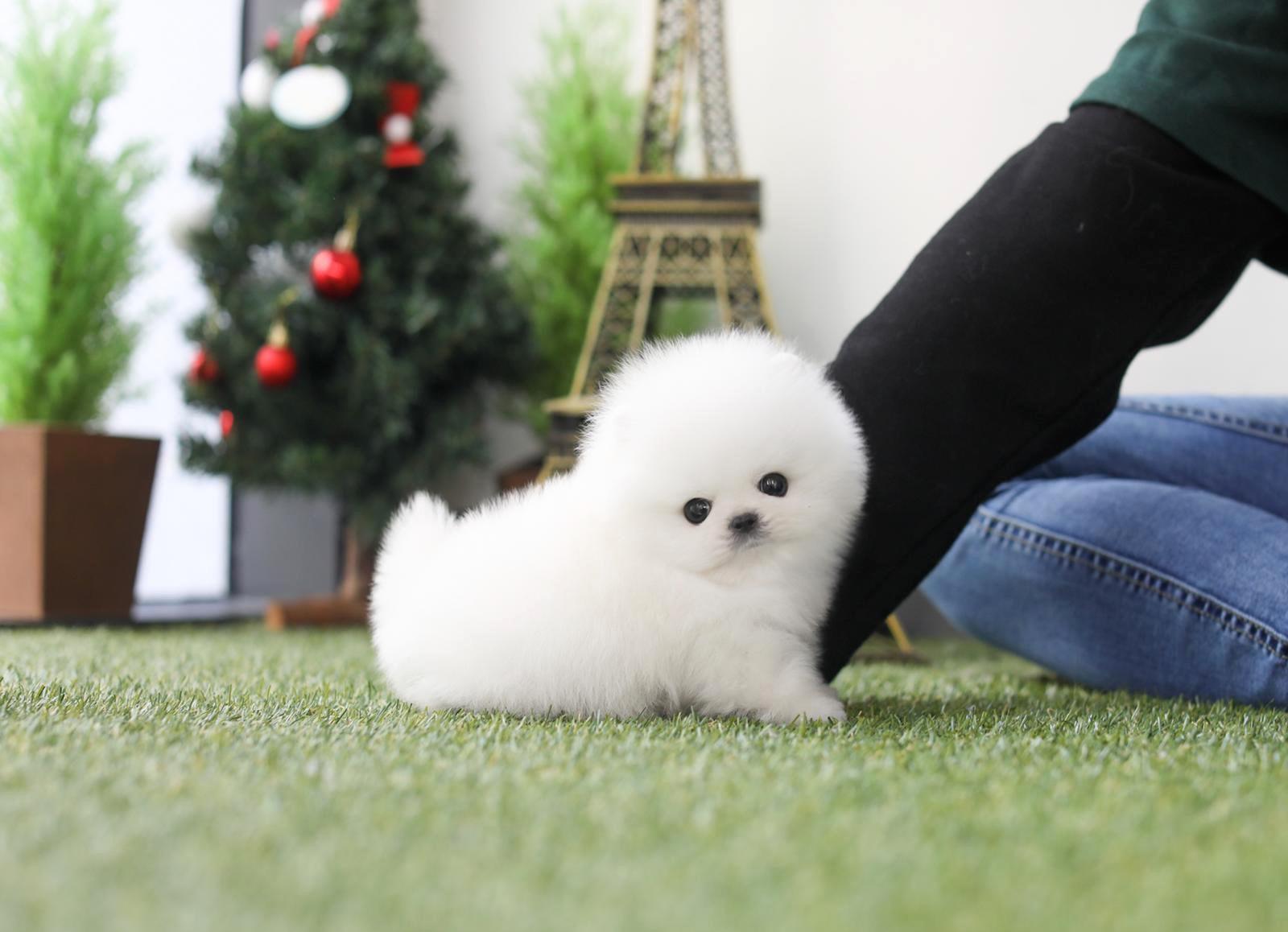 Scotch White Tiny Teacup Pomeranian - Tiny Teacup Pups - photo#24