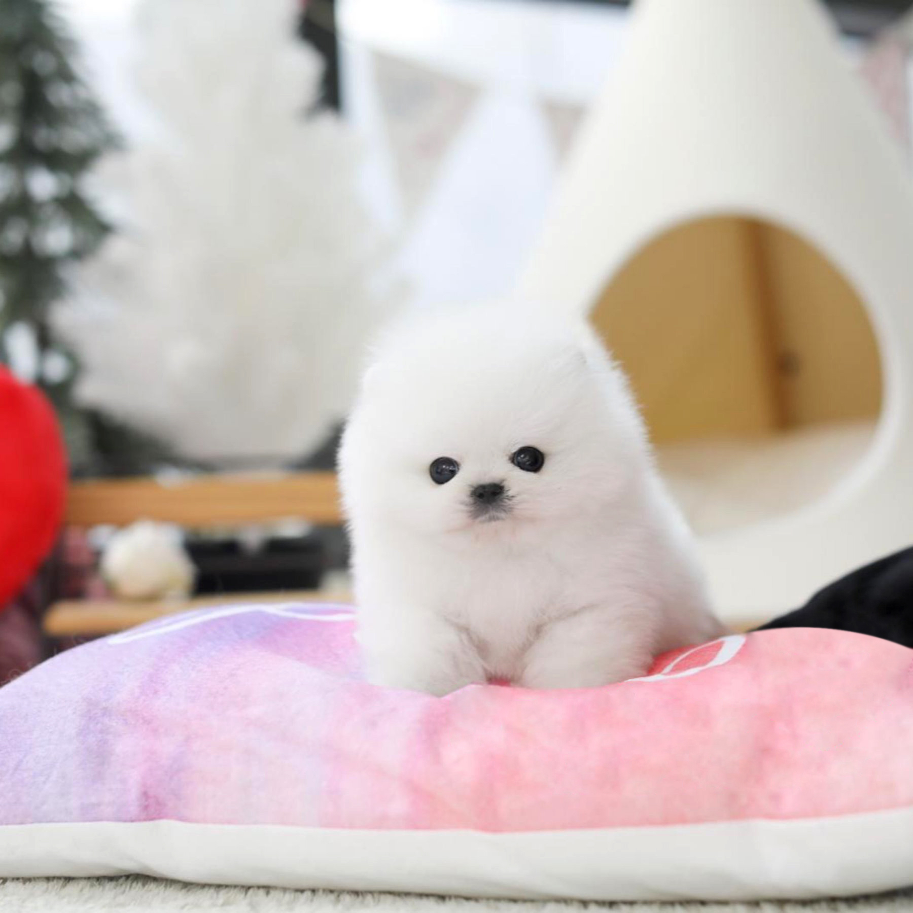 Scotch White Tiny Teacup Pomeranian - Tiny Teacup Pups - photo#17
