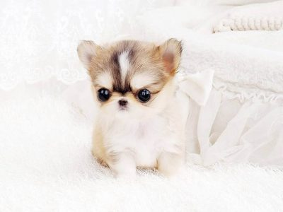 Cream Micro Teacup Chihuahua Puppy