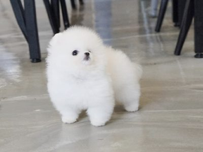 White Micro Teacup Pomeranian Puppy