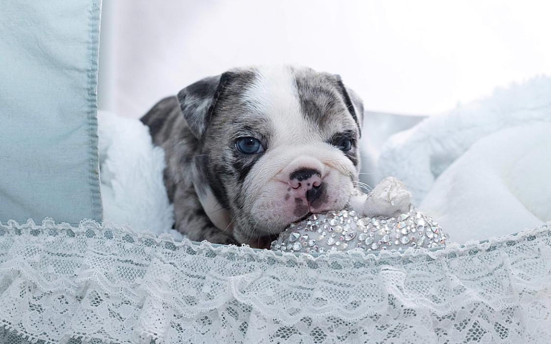 Hollywood Blue Merle Mini ENGLISH Bully with BLUE eyes