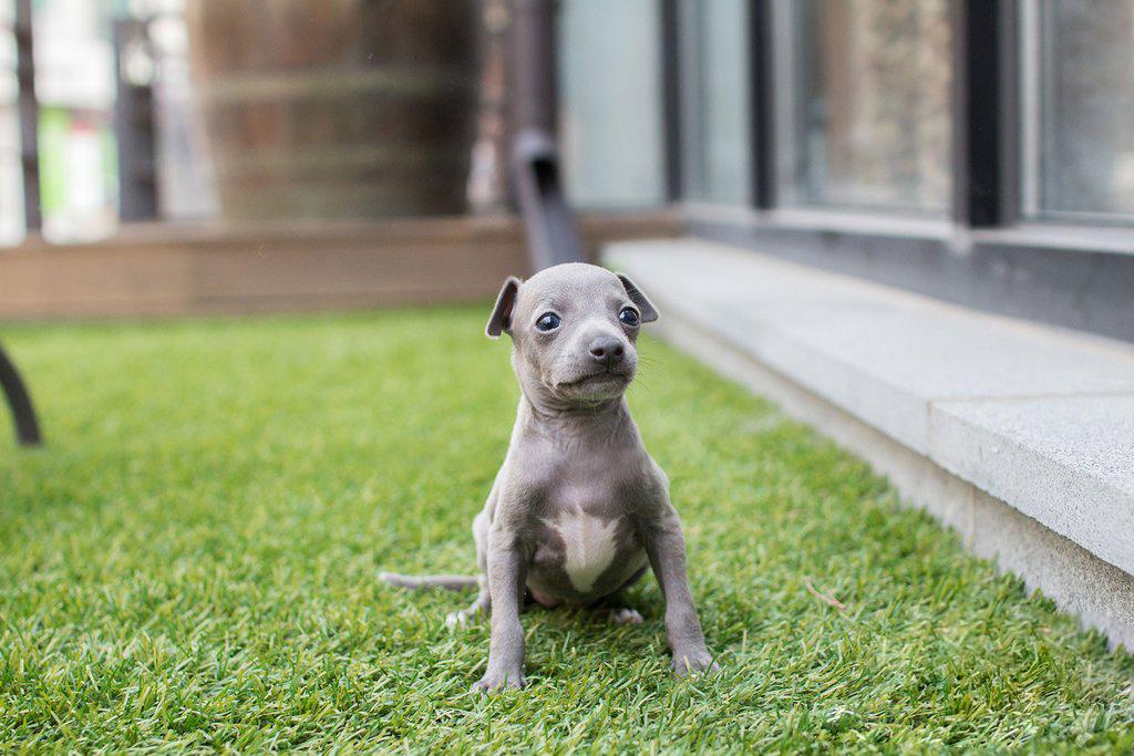 Winston Micro Teacup Greyhound