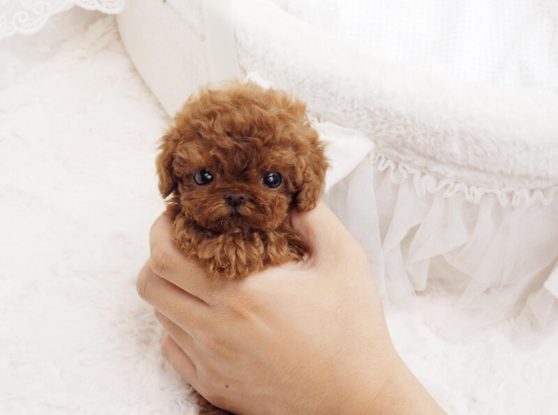 Ruby Red Micro Poodle