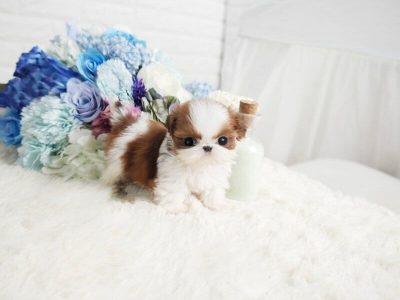 Classic Micro Teacup Shih Tzu Puppy For Sale