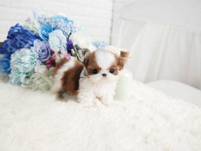 Classic Micro Teacup Shih Tzu Puppy