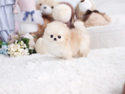 Cream Micro Teacup Pomeranian Puppy