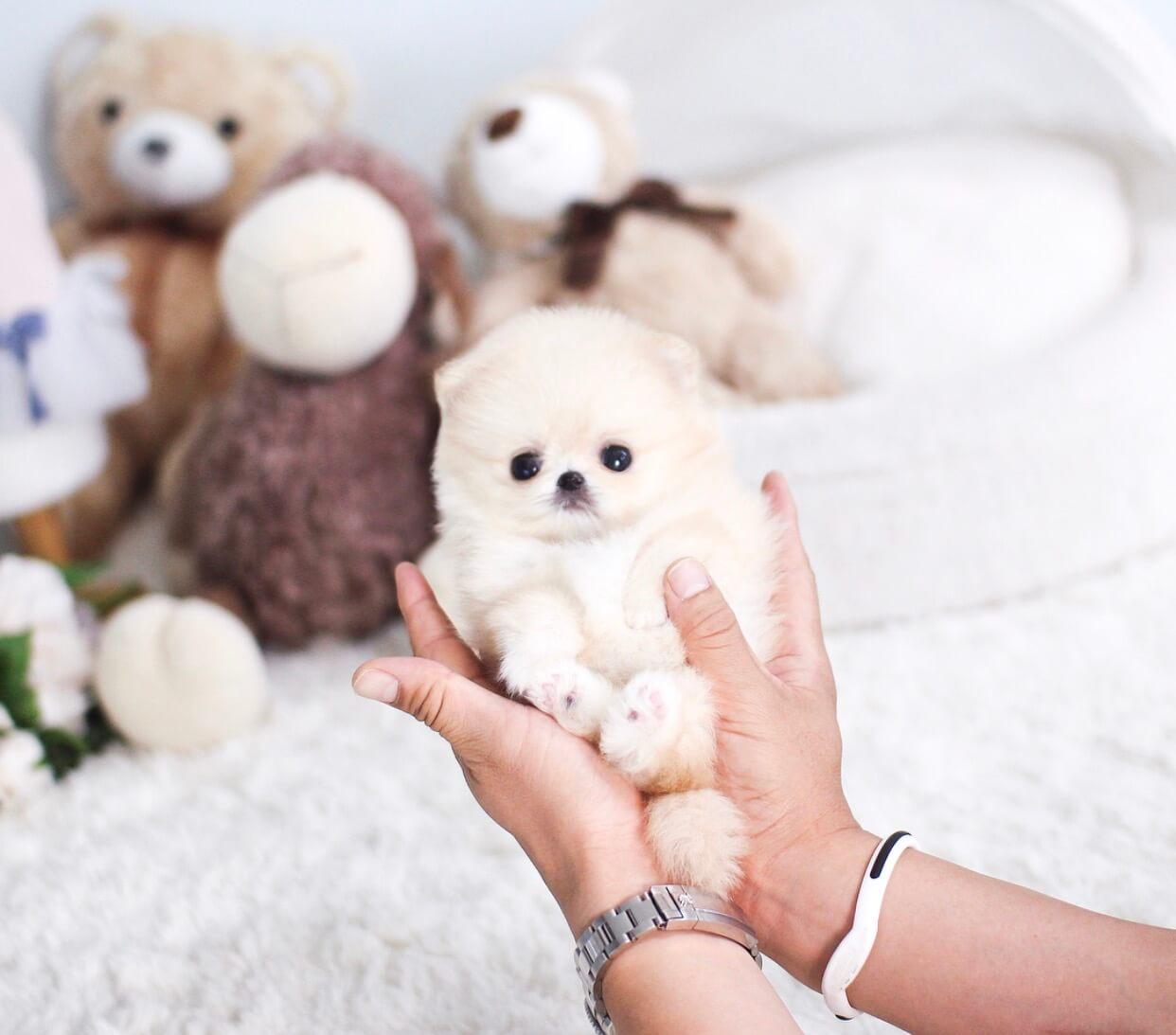 Bae Cream Micro Pomeranian