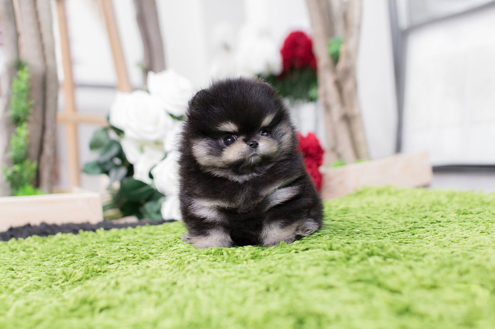 Karma Black White Tiny Teacup Pomeranian