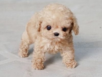 Cream Micro Teacup Poodle Puppy For Sale