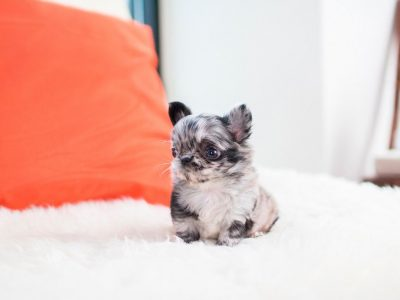 Blue Merle Micro Teacup Chihuahua Puppy For Sale
