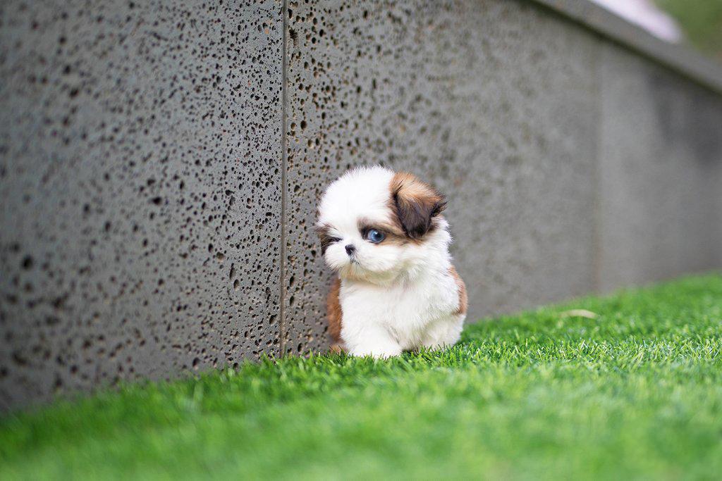 Splash Micro Teacup Shih Tzu Tiny Teacup Pups