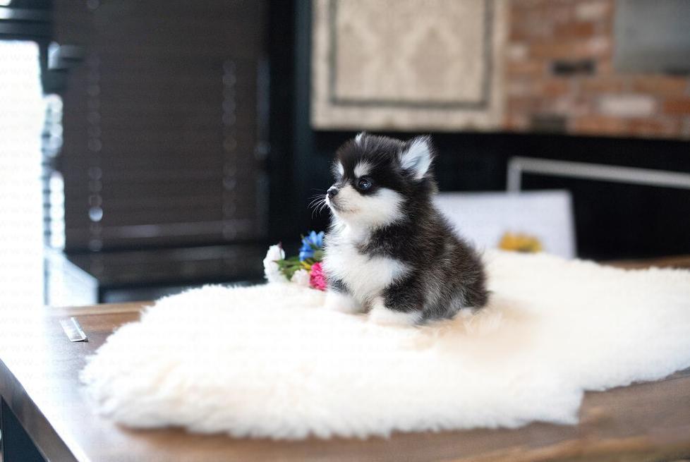 Sugar Tiny Teacup pomsky